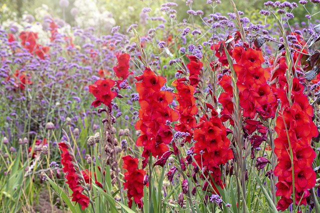 How to Grow Gladiolus   Hunker