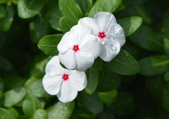 How to Grow Impatiens | Hunker