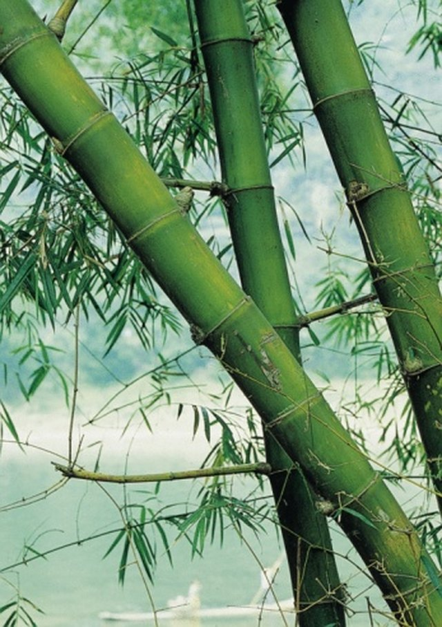 How to Get Rid of Black Mold On My Bamboo Plant | Hunker