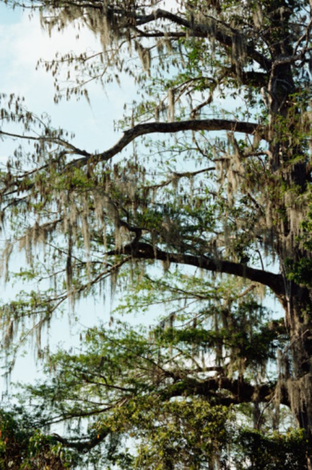 Pond Cypress Vs Bald Cypress Hunker