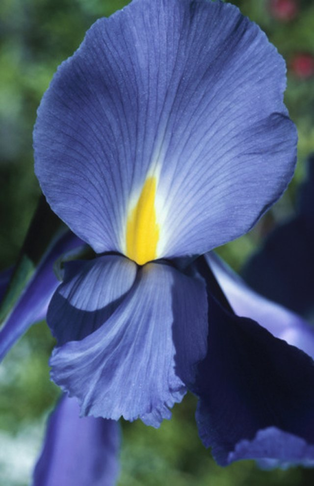 Why Didn't My Iris Bloom This Year?   Hunker