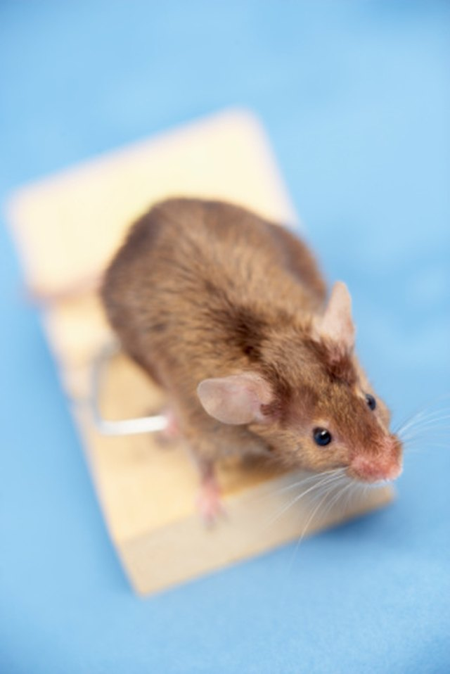 How to Make All Natural Mice Repellant | Hunker