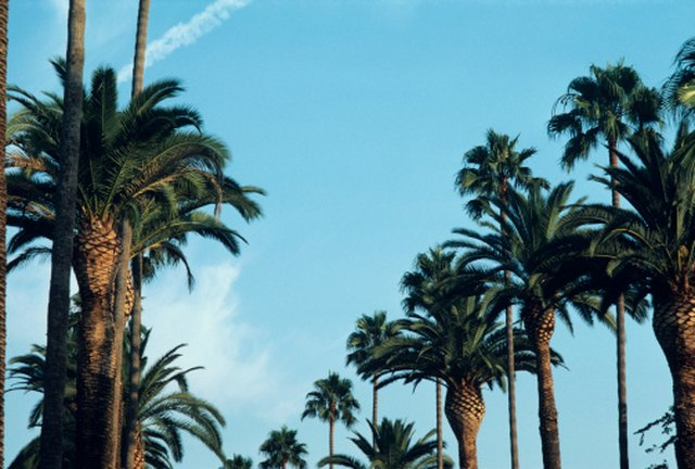How Fast Does A Pygmy Date Palm Grow Hunker