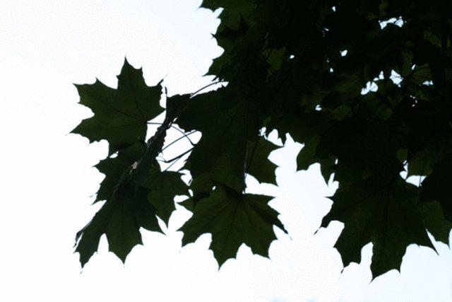 How Long Does It Take a Maple Tree to Grow? | Hunker