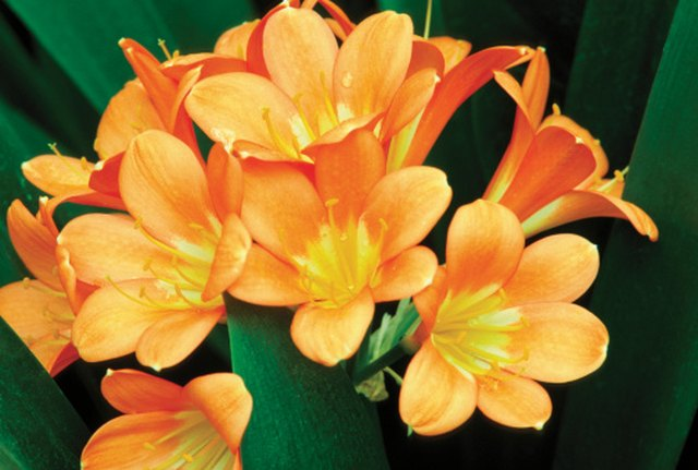 Why Are My Clivia Leaves Turning Yellow? | Hunker