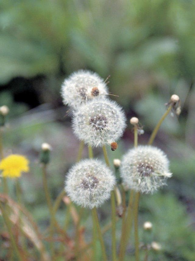 When Do Dandelions Bloom? | Hunker