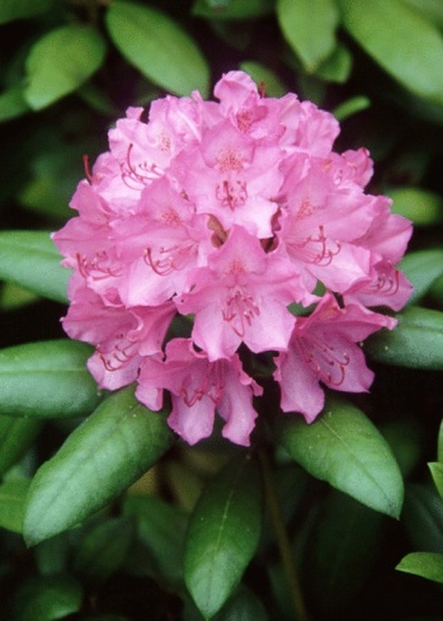 How to Collect Rhododendron Seeds | Hunker