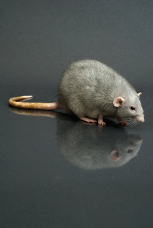 How To Keep Rats Out Of The Gutters Hunker