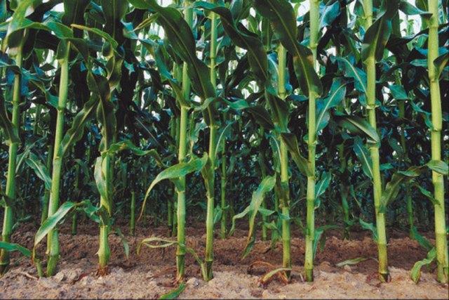 My Corn Plants Don't Grow Tall | Hunker