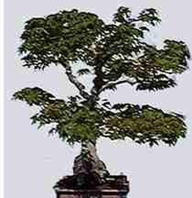 How to Identify Bonsai Trees | Hunker