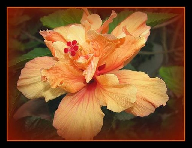 Types of Hibiscus Plants | Hunker