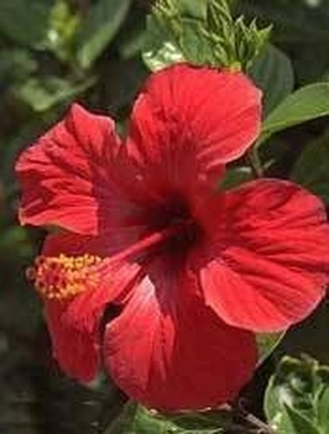How To Grow Hibiscus For Tea At Home Hunker