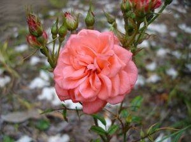 How To Take Care Of A Mini Rose Plant Hunker