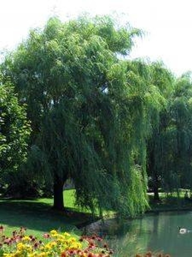 How To Grow Weeping Willow Trees Hunker