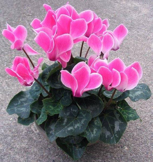 How to identify green house plants hunker a cyclamen plant mightylinksfo