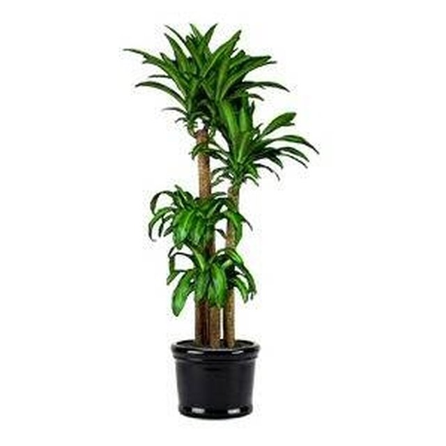 How to care for a massangeana cane hunker - What degree do you need to be an interior designer ...