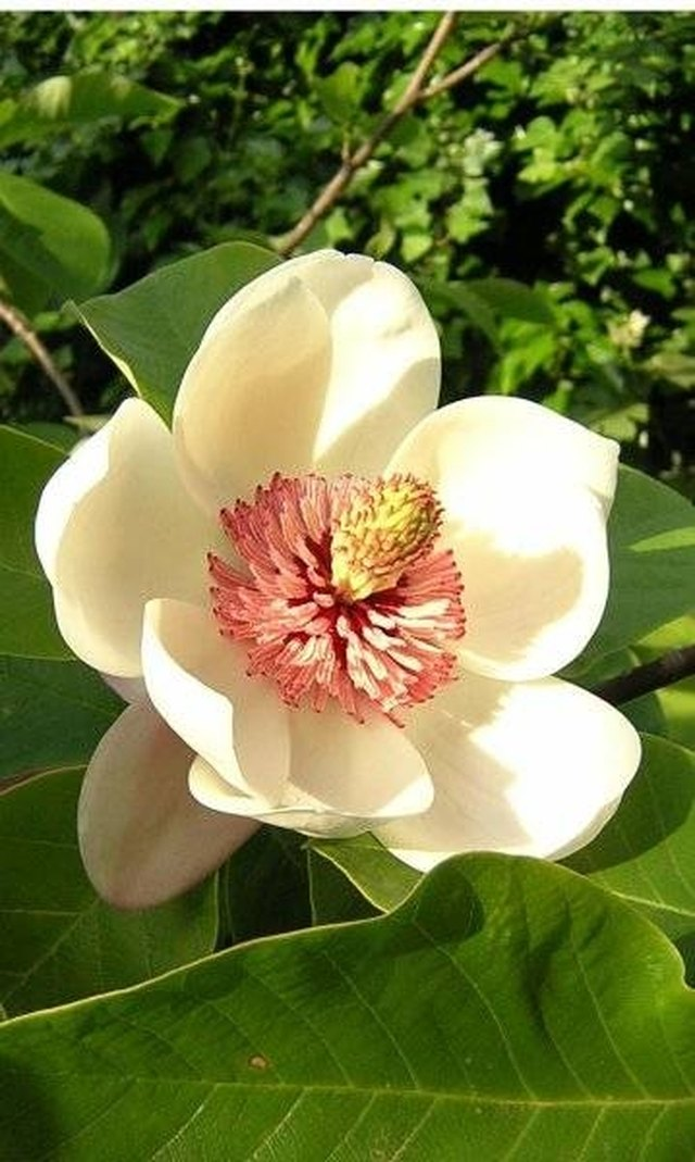 Tips On Magnolia Tree Care Hunker