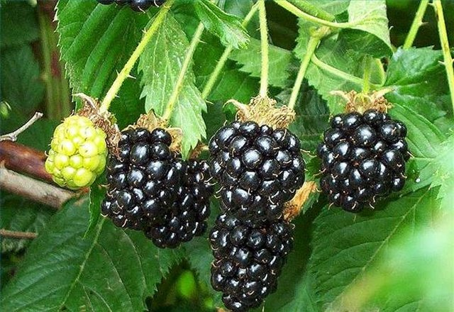 How to Grow Blackberries Indoors | Hunker