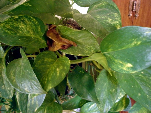 Why Do Indoor Plant Leaves Turn Brown Hunker