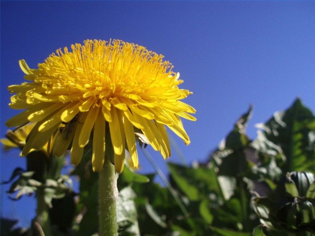 Dandelion Flower Facts Hunker