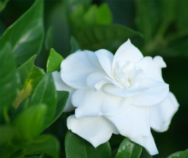 How to make gardenias bloom all year hunker step 1 mightylinksfo
