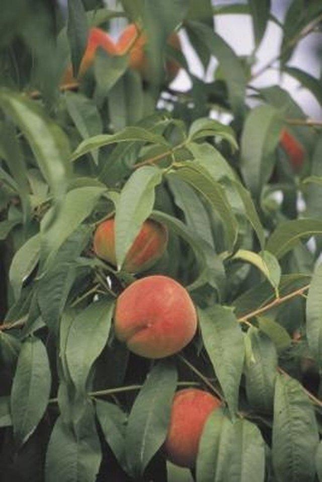 The Best Fruit Trees For Kansas Hunker