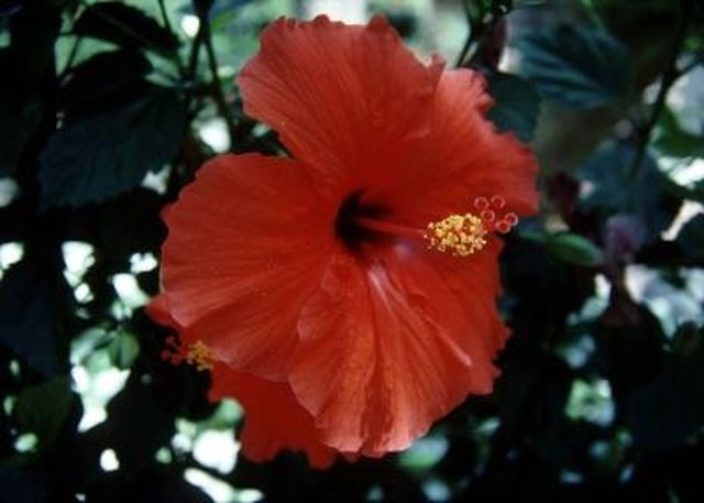 Difference Between a Hardy Hibiscus and Tropical Hibiscus ...