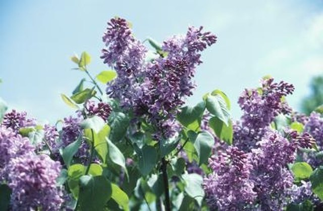 Are Lilacs & Butterfly Bushes the Same?   Hunker