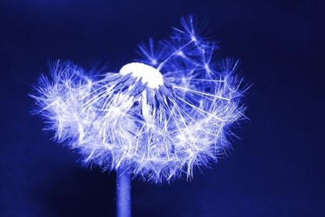 How Does A Dandelion Reproduce Hunker