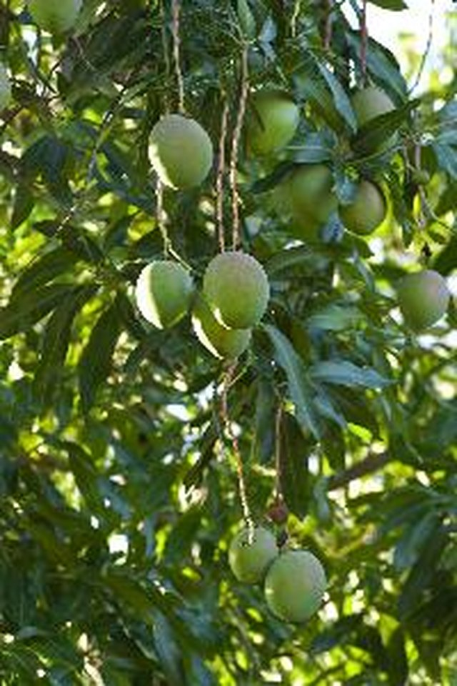 When To Fertilize Mango Trees Hunker