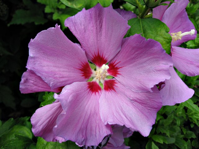 When to Fertilize the Rose of Sharon | Hunker