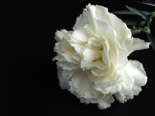 meaning of white carnation flowers hunker