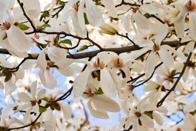 How to identify a white flowering tree hunker step 1 examine the leaves of the tree white flowering mightylinksfo