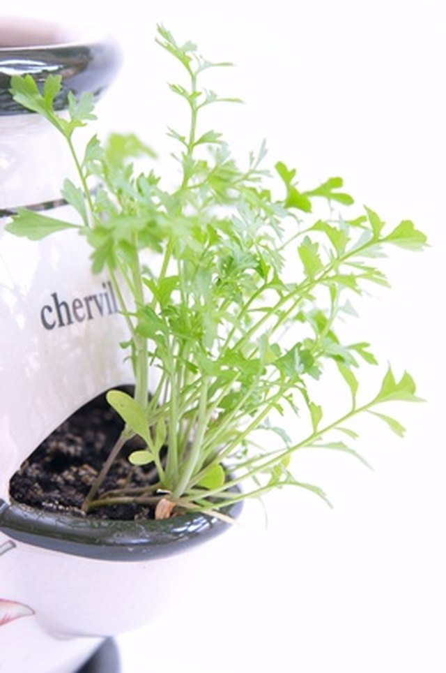 Herbs That Can Grow With Basil In The Same Pot Hunker