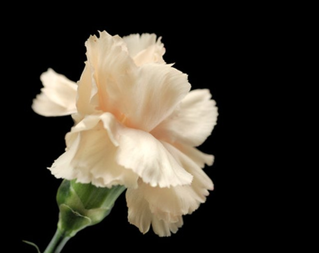 Meaning of White Carnation Flowers | Hunker