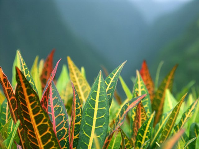 Croton Plants For Outdoors Hunker