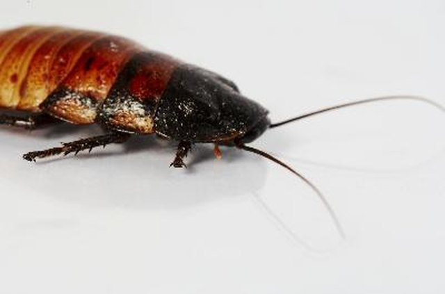 How To Get Rid Of Roaches Rats And Other Pests Hunker - How to get rid of cockroaches in kitchen cabinets