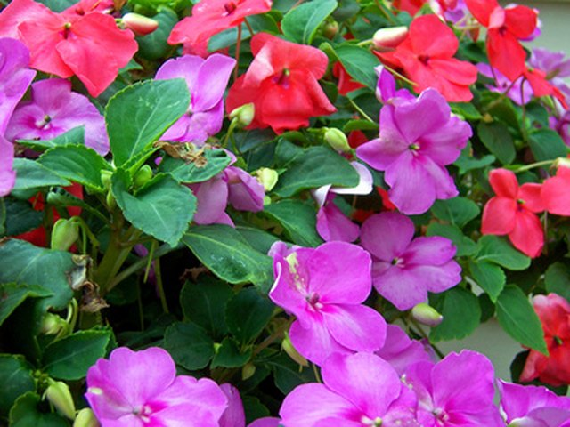 How to Deadhead Impatiens | Hunker