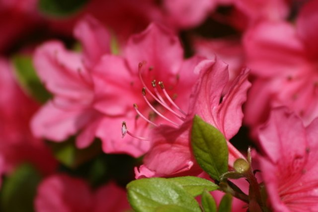 Different Types of Azaleas | Hunker