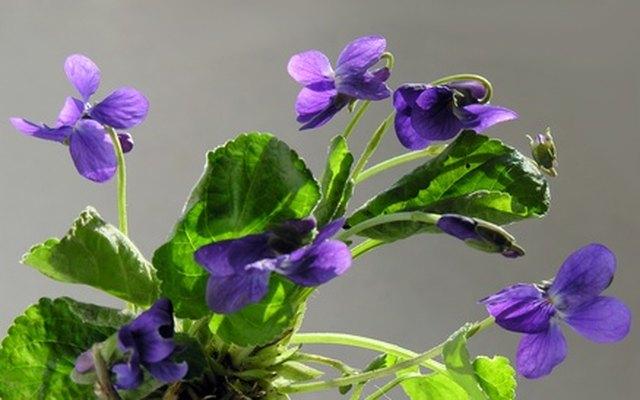 sweet spring violets