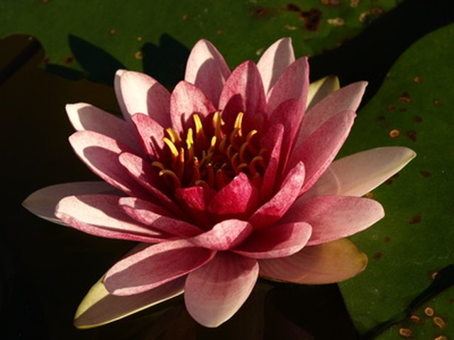 lotus flower essay on hindi Essay on hibiscus flower in hindi  next page drama gcse essay examples các bài luận tiếng anh thường dùng life in the city living in a multiracial community tell about a visit to a famous city talk about modern inventions talk.