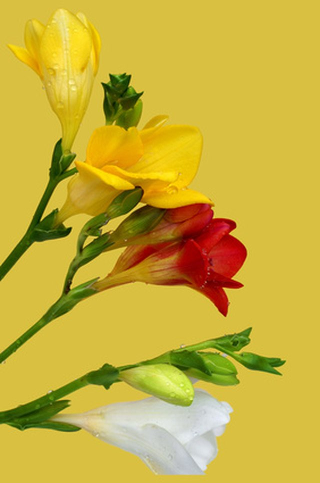 What is the meaning of the freesia flower hunker in the language of flowers yellow freesias connote friendship while white freesias mean innocence mightylinksfo
