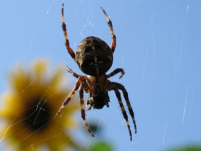 Boric Acid & Spiders | Hunker