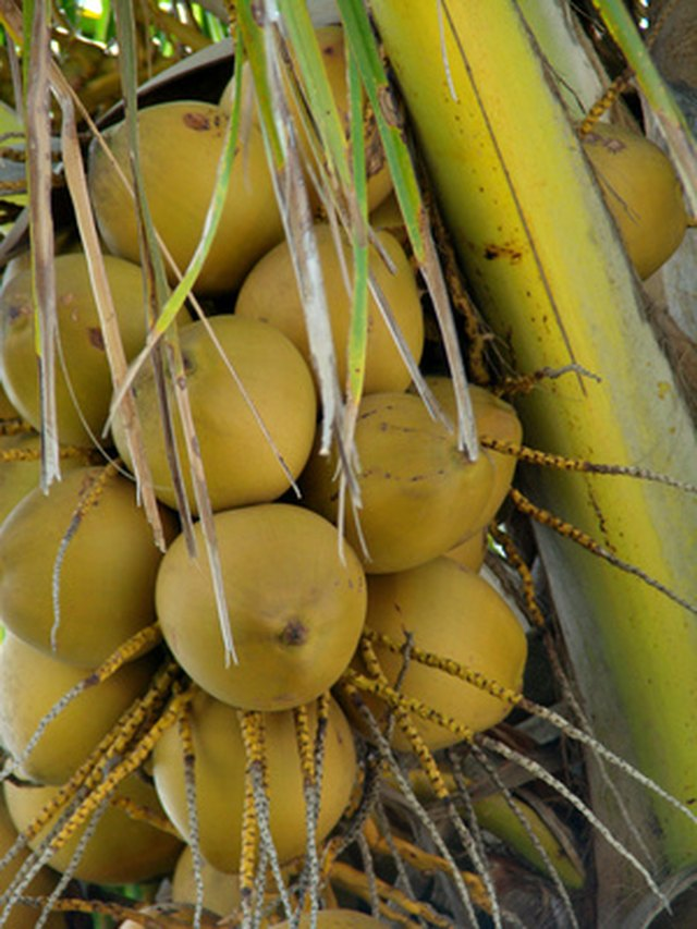 Coconut Palm Tree Root Facts | Hunker