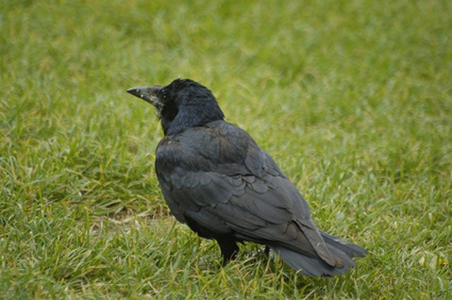 How to Keep Crows Out of the Garbage Bags | Hunker