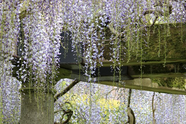Chinese wisteria flowers (variety: wisteria floribunda) growing up garden pergola