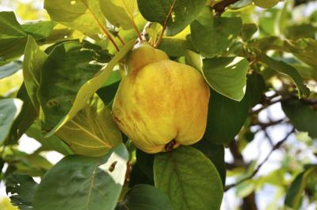 How Do I Know When Quince Is Ripe? | Hunker