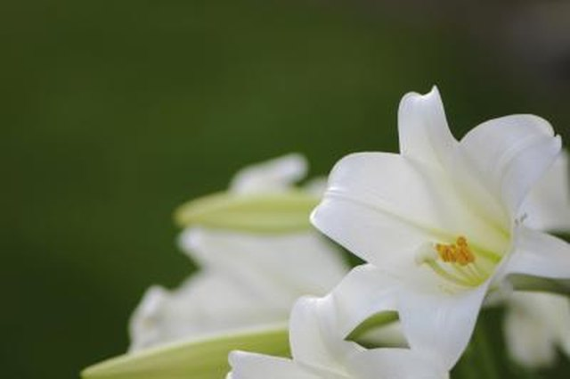 What is the meaning of white lilly hunker what is the meaning of white lilly mightylinksfo