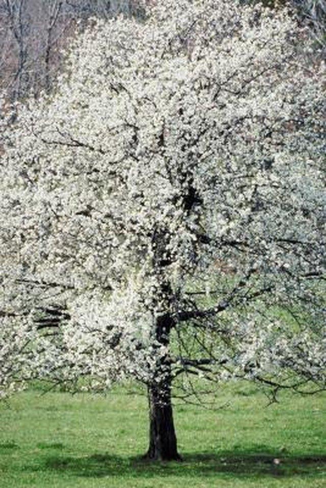 Is the dogwood tree a softwood or hardwood hunker density dogwood mightylinksfo