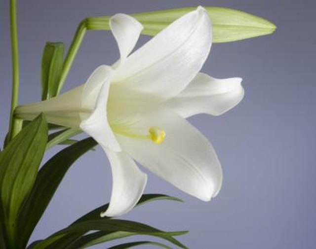 What is the meaning of white lilly hunker meaning in the song of songs mightylinksfo